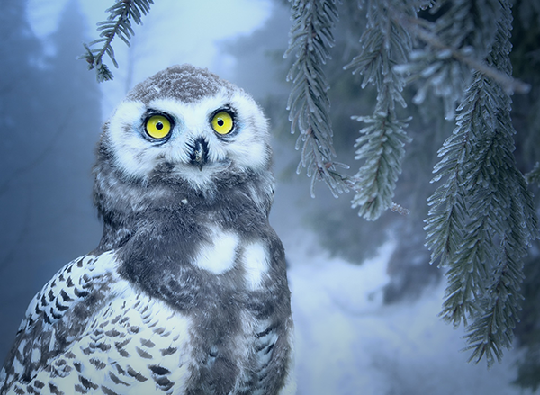 雪のフクロウ